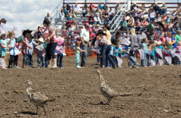 little britches pheasants and kids