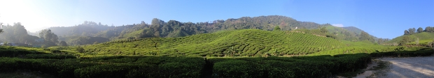 Tea plantation small